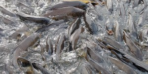 Efforts to control non-native carp populations are in place around the world.