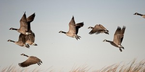 Migrating Canada Geese fill the skies as they begin their fascinating journey.