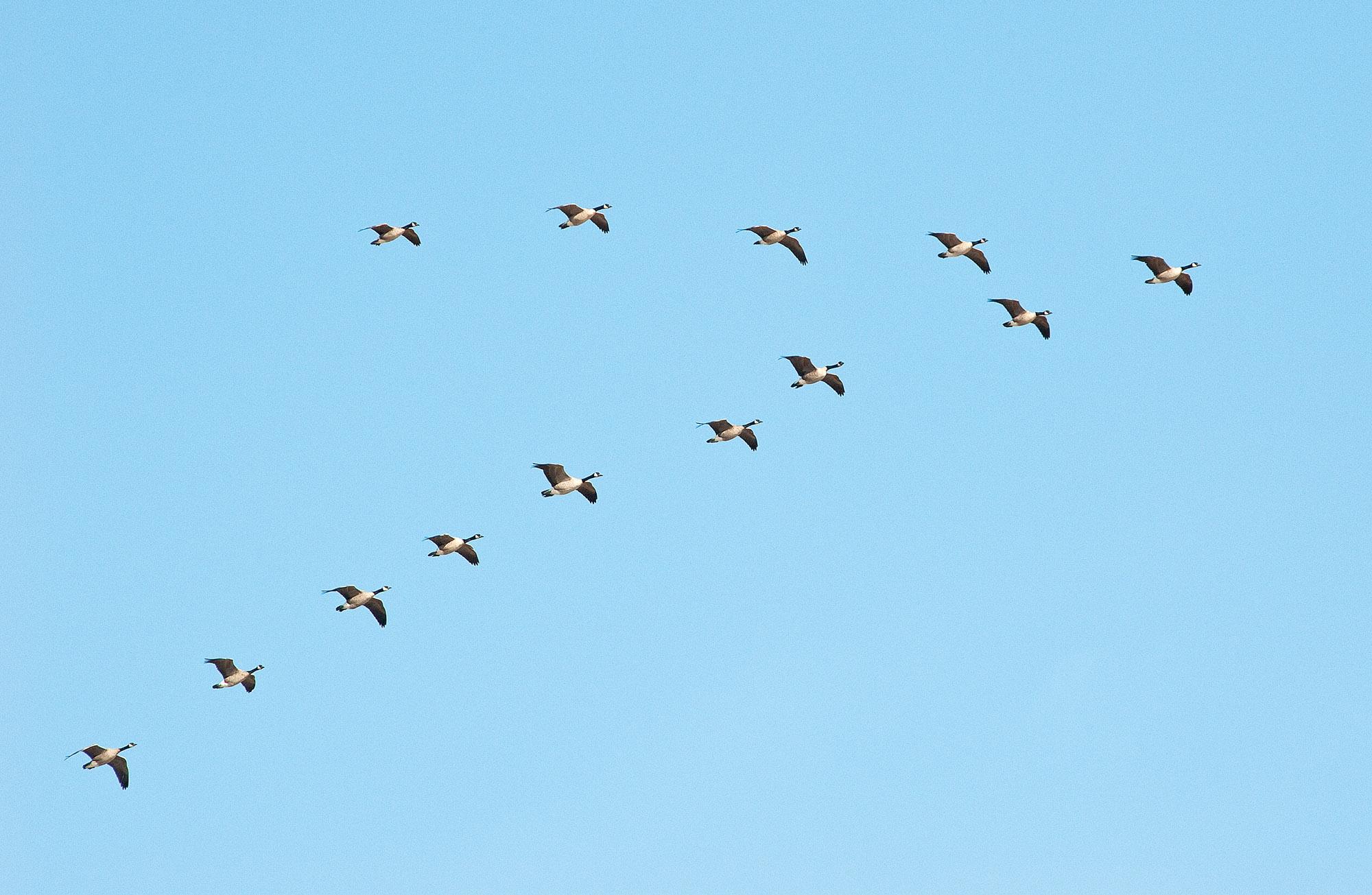 Bird Migration Formation Www Imgkid Com The Image Kid