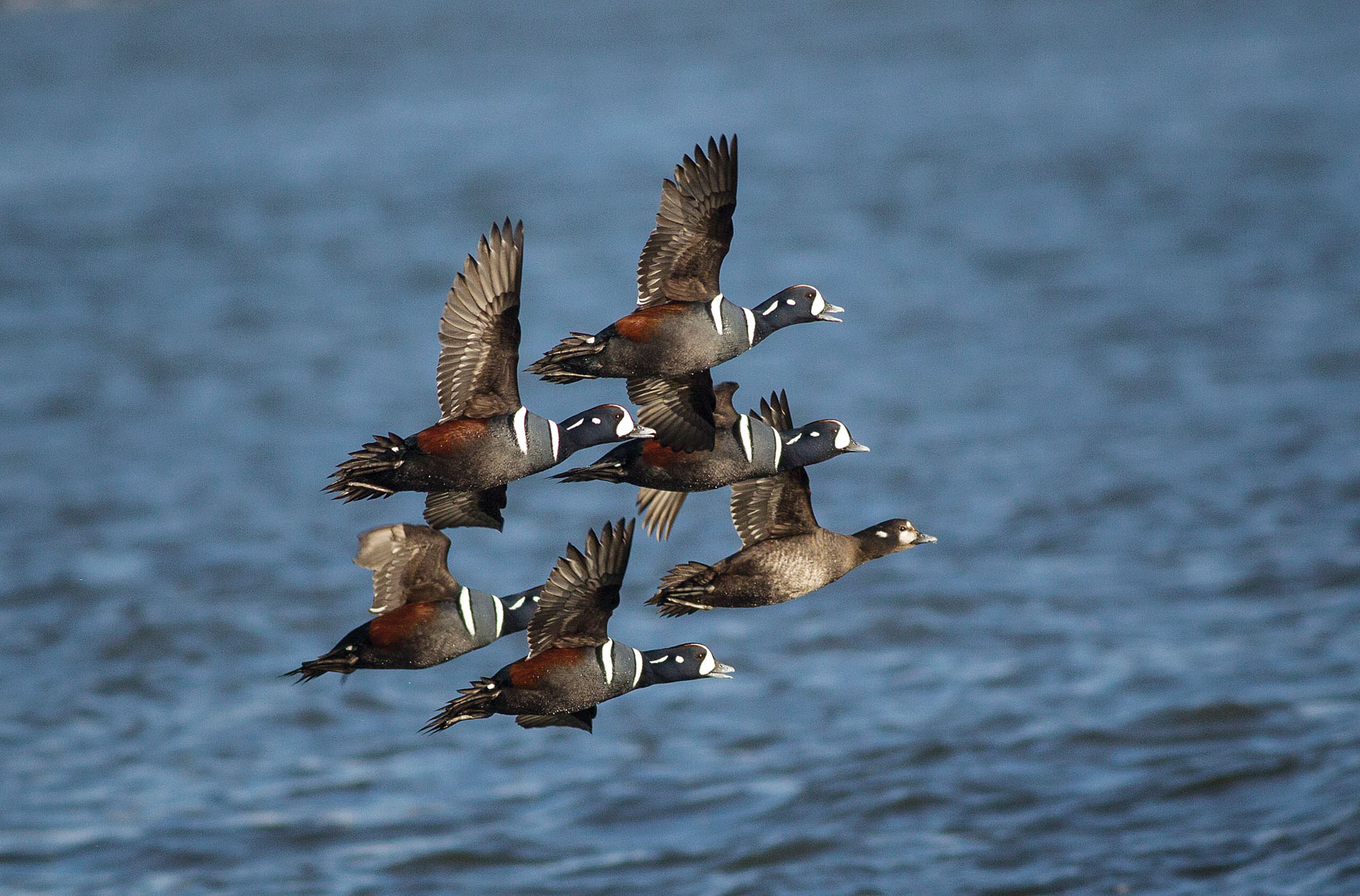 Canada Goose Migration Flying Speed - photo#20