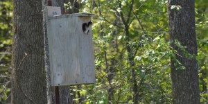 Nest boxes provide nesting opportunities for wood ducks, goldeneyes, mergansers and other wildlife species.