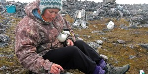 Graduate student Jennifer Provencher gathers information from a common eider while performing field research in the Canadian Arctic. Photo courtesy of Jennifer Provencher