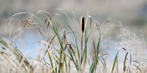 frosty cattails