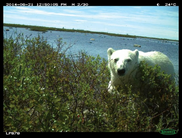 polarbear-courtesy-of-david-iles
