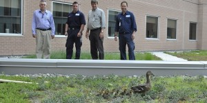 RVH team members watch over a mallard brood at the centre; Rob Purdy, Mike Hillier, Bill VanLeusen and Rob Behe.