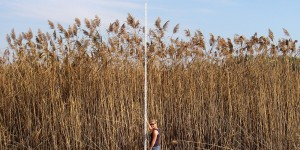 A stand of invasive Phragmites towers over Lindsay Bennett, who assisted in surveying the plant during the summer of 2007. ©Janice Gilbert