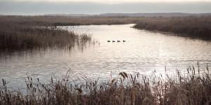 Mallards on marsh