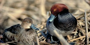 Redhead ducks are one of 29 North American migratory waterfowl species that winter in Mexico. ©DUC