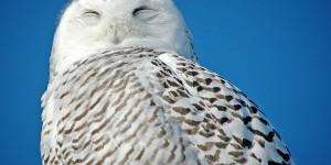 A resting snowy owl. ©DUC