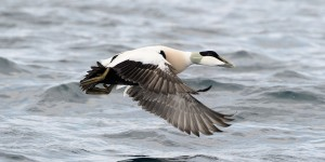 A resplendent common eider drake flies low over the ocean. Fewer eider hens are returning to nest along Nova Scotia's Eastern Shore, and a new collaborative research effort aims to find out why.