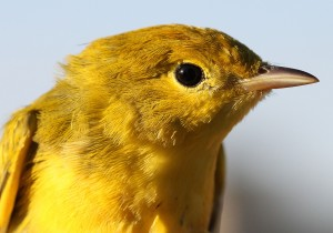 Sunlight reflects in the eye of a yellow warbler during a banding session.