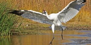 whooping-crane