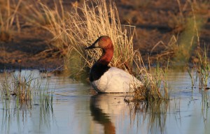In 1985, canvasbacks were one of several waterfowl species of special concern to biologists. ©DUC