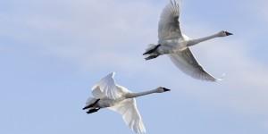 Tundra swan pair, flying. ©DUC/Chris Benson
