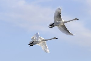 Tundra swan pair, flying. ©DUC/Chris Benson