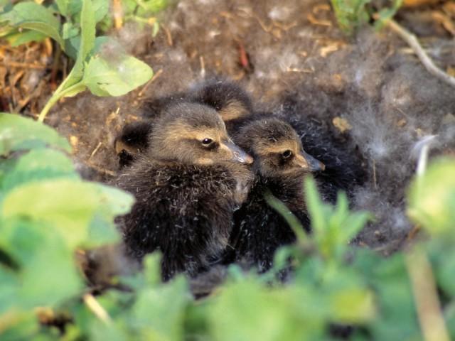 eider-chicks